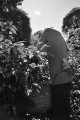 Heredia, Costa Rica. (Elas Esquivel) Tags: blackandwhite coffee beans workers costarica blackandwhitephotography coffeebeans heredia coffeeplantation barva hardworkers coffeeplantations sanjosedelamontaa