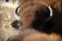 Bison over Bison (MTSOfan) Tags: male horns bison tatonka
