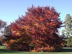 Acer palmatum 'Bloodgood' (singinghedgehog) Tags: autumn maple colours acer wisley rhswisley palmatum bloodgood