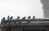PigeonsCorniceSnow  RSCN3581 crpt (Lanterna) Tags: winter snow weather birds pigeons snowstorm cornice greenwichvillagenyny