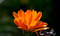 Hot orange (Steve-h) Tags: flowers autumn ireland dublin orange hot green nature bokeh blossoms september 2015