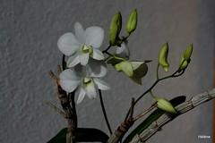 Dendrobium phalaenopsis (cattlaelia) Tags: orchid dendrobium orchidée dendrobiumphalaenopsis cattlaelia