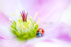 Lady in pink (Jacky Parker Floral Art) Tags: pink flower macro closeup bug garden insect outdoors spring wildlife beetle nopeople ladybird ladybug hellebore christmasrose freshness florafauna naturephotography lentenrose macrophotography beautyinnature horizontalformat flowerphotography