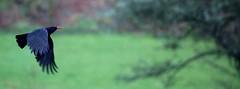 Red-billed Chough (ReevesWild) Tags: nature chough redbilledchough