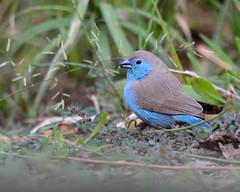 Peito-celeste // Blue Waxbill (jvverde) Tags: bluewaxbill peitoceleste uraeginthusangolensis angolacordonbleu angolancordonbleu bluebreastedcordonbleu bluebreatedcordonbleu bluecheekedcordonbleu bluecheekedwaxbill cordonbeu cordonbleu southernbluewaxbill southerncordonbleu ფრინველები թռչուններ ܛܝܪܐ பறவை สัตว์ปีก 鳥 پنچھی پرندہ 조류 ນົກ adar burung burungburung chim éin fåglar fuglar fugle fugler għasafar hegaztiak izinyoni kuşlar langgam linnud linonyana lintuja madarak manu manuk mbalame mga ibon ndege păsări pássaros paukščiai paxaros ptactvo ptaki ptice putni qushlar shimbiraha tsuntsãye uccelli voëls vögel