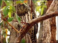 Barking Owl - Ninox connivens - Coroibah, Qld. (grayham3) Tags: bird nature birds canon wildlife australian feathers australia owl qld queensland noosa ornithology australianwildlife barkingowl seq sequeensland wildscape ninnoxconnivens