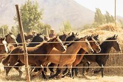 Trilla a yegua suelta (Ricardo Martinez Fotografia) Tags: chile caballos nikon costumbres cultura trilla callelarga chilenidad d810 ricardomartinez