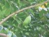 starr-120606-6899-Castanospermum_australe-seedpod_and_leaves-Kahanu_Gardens_Hana-Maui (Starr Environmental) Tags: castanospermumaustrale