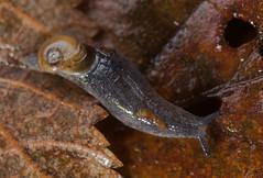 Daudebardia rufa, a semi-slug, Wern Ddu woodland, Aberbargoed, Monmouthshire DSC_6957  ed3 (Cladoniophile) Tags: