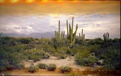 Olympus Trip 500, Kodak Max 400 (K e v i n) Tags: arizona cactus southwest film nature analog cacti 35mm outside desert az scan dirtroad kodakmax400 sonorandesert saguaros marana southernarizona olympustrip500 epsonv500