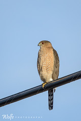 red eyes (Aaron_Smith_Wolfe_Photography) Tags: mountains hawk nevada sierra carsoncity