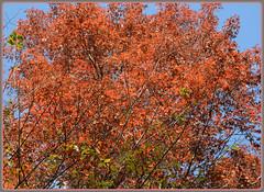 ``` Red Oak Intensity ``` (Wolverine09J ~ 1 Million + Views) Tags: autumn minnesota flora redoak redonblue heartawards redlevelno1 certifiedphotographergroup rainbowofnaturelevel1red peakcoloration rumrivercentral