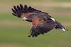 Harris Hawk passing by. (sharp shooter2011) Tags: birdsinflight hawk harrishawkinflight raptors harrishawk raptorsinflight avianphotography hawkwatch birdsofprey