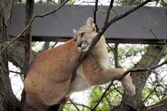 Puma Lookout (greekgal.esm) Tags: philadelphia feline bigcat puma cougar mountainlion philadelphiazoo phillyzoo bigcatfalls