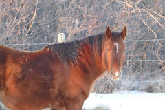 Oopsie - 3 (Bucky-D) Tags: winter horse snow cold quarterhorse oopsie paintedquarterhorse fz1000