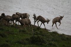 Rams will Play (bbosica20) Tags: nature montana wildlife ngc glaciernationalpark rams mountainsheep