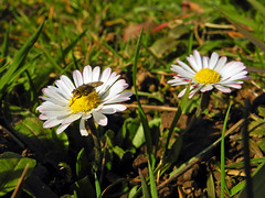 8916 Zwei Gnseblmchen in der Vorfrhlingssonne. Two daisies in the sun before spring. (Fotomouse) Tags: two plant macro spring flickr outdoor pflanze blumen vegetable daisy blume makro blte zwei draussen gnseblmchen blten bellisperennis wiesenblume vorfrhling 2early fotomouse