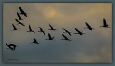 Cranes in flight (Sakerfalke) Tags: birds crane flight kraniche mritznationalpark graukraniche sakerfalkefotografie