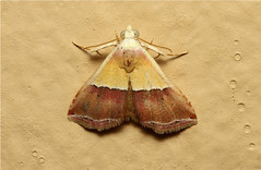 Eublemma anachoresis (The Banner) - South Africa (Nick Dean1) Tags: insect southafrica banner insects arthropods animalia arthropoda krugernationalpark arthropod hexapod insecta hexapods hexapoda thebanner eublemmaanachoresis
