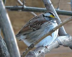 White-throated Sparrow_N9380 (Henryr10) Tags: yard backyard bird zonotrichiaalbicollis zonotrichia albicollis avian whitethroatedsparrow sparrow vogel ibon oiseau pasare fågel uccello tékklistar wtsp