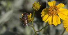 All The More For This Fly (harefoot1066) Tags: asteraceae syrphidae diptera brittlebush encelia enceliafarinosa syrphidfly aschiza eristalinae volucellini copestylum copestylumisabellina copestylumsubgenusphalacromya