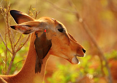 enjoying the attention... (tdwrsa) Tags: impala krugerpark redbilledoxpecker buphaguserythrorhynchus canoneos70d