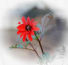 Dahlia (Ptolemy the Cat) Tags: dahlia flower nature garden desaturation nikond600
