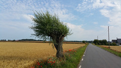 Golden field + Tree + Flowers by Roadside (Mobile phone 2015) (crush777roxx) Tags: road flowers blue houses summer sky tree nature field grass leaves mobile clouds gold countryside skåne phone sweden country samsung august bluesky note willow galaxy mobilephone sverige roadside crush iv 8th countryroad willowtree pil goldenfield 2015 soop sooc straightoutofcamera pilträd ingelstorp note4 straightoutofphone glemmingebro pilevall samsunggalaxynote4 20150808 crush777roxx
