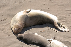 Elephant Seal 2 (SamLleva) Tags: california beach mammal coast sand pacific highway1 seal hearstcastle pup centralcoast cambria elephantseal molting