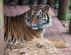 Tiger 5th March 2016 #4 (JDurston2009) Tags: zoo tiger devon sumatrantiger paignton paigntonzoo zoologicalgardens pantheratigrissumatrae paigntonzoologicalgardens