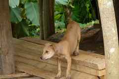 Embera Indian Pet Dog in the Jungles of Panama (Joseph Hollick) Tags: dog pet animal jungle panama embera emberaindians