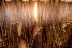 Roseaux Sauvages (zventure, off/on) Tags: soleil eau reflexion extrieur reflets var roseaux abstrait aube buissons eaudouce hautelumire bordsduvar