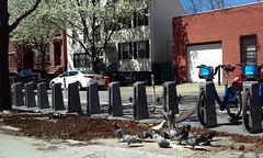 Greenpoint, Brooklyn, NY (lotos_leo) Tags: urban ny newyork birds brooklyn spring outdoor pigeons greenpoint