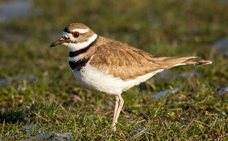 Killdeer having a snack in the grass (Explore)