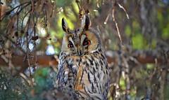 Look into my eyes! (L.Lahtinen) Tags: tree bird nature animal finland garden spring eyes wildlife owl april nikkor luonto bubobubo birdlife lintu nikond3200 kevt europeaneagleowl pll sarvipll huuhkaja 55300mm