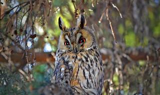Look into my eyes! European eagle-owl. Spring.