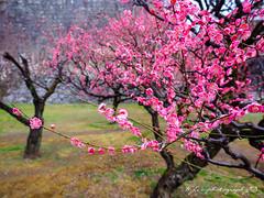 @ () Tags: japan stars olympus seven fukuoka     zuiko kumamoto                1454          kumamon