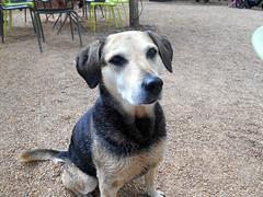 Friendly Dog (RobW_) Tags: dog march farm saturday western friendly cape paarl 2016 simondium babylonstoren 05mar2016