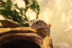 Lisa (uni_inu) Tags: herp leopardgecko