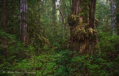 Walbran Valley Giants - Vancouver Island, Canada (Thomas J Dawson) Tags: vancouverisland walbran oldgrowthforest carmanah beautifultrees ancientforest amazingforest thomasdawsonphotography