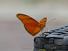 Julia Butterfly (Dryas iulia) near Paraiso, Panama, Panama (Ian_125) Tags: butterfly insect lepidoptera panama dryas nymphalidae dryasiulia juliabutterfly heliconiinae juliaheliconian papilionoidea panamaprovince heliconiini radissonsummit