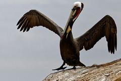 The Pelican King (aleadam) Tags: california birds rock pose sandiego wing lajolla pelican