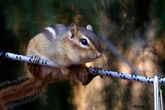 Chester the Chipmunk on a Mission (--Anne--) Tags: cute nature animals wildlife birdfeeder seeds chipmunk stealing chipmunks