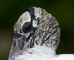 Wood Stork (Mycteria americana) (gapowell) Tags: wood stork droh dailyrayofhope