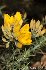 Ulex sp. (Lus Gaifm) Tags: flower macro planta nature natureza flor plantae gorse tojo furze fo whin ulexsp lusgaifm pnlitoralnorte