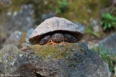 Tartaruga d'acqua _005 (Rolando CRINITI) Tags: natura arenzano tartarugadacqua