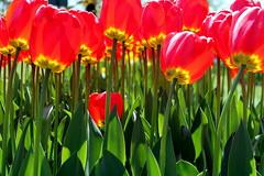 a little one (overthemoon) Tags: flowers light red yellow fleurs schweiz switzerland suisse tulips stems svizzera tulipfestival vaud morges tulipes ftedelatulipe romandie parcdelindpendance
