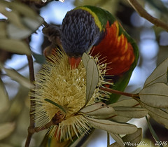 Rainbow Lorikeet enjoying the banksia (Merrillie) Tags: flowers nature birds animals fauna nikon bokeh wildlife lorikeet australia nsw banksia rainbowlorikeet cones woywoy integrifolia australiannative d5500 nswcentralcoast yellowcones centralcoastnsw woywoywaterfront