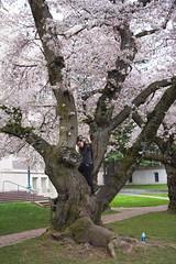 IMG_9529 (elenafrancesz) Tags: uw cherry blossoms wordless