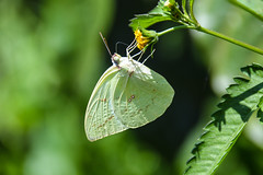 Common Grass Yellow Butterfly (Eurema hecabe) (Seventh Heaven Photography) Tags: green grass yellow butterfly insect indonesia java wildlife central common borobudur magelang eurema euremahecabe hecabe